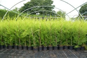 10 X 60-90cms CASTLEWELLAN GOLD HEDGING CONIFERS PLANT 3ltr POTS