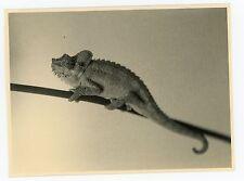 PHOTO  Le caméléon /  The Chameleon