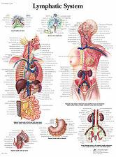 Cartel médico A3-el sistema linfático humano (libro de texto médico de imágenes de anatomía