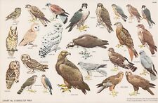 RSPB - Bird Cards - 1960 - N.W.CUSA . Chart N° 6 - 325X210