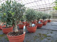 Olivenbaum Bonsai Pon Pon Formgehölz, Olive winterhart, Olea europaea,
