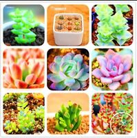 50Pcs/Bag Bonsai Seeds Mix Lithops Rare Succulent Flower Pseudotruncatella