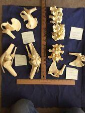 Skeletal Bone Models Displays Pelvis Spine Knees Anatomy Skeleton