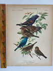 Vtg Original Print Plate #86 Bunting Birds of New York 1916 Fuertes Nature art
