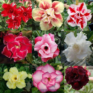 Adenium Obesum Desert Rose Mixed Varieties 500 Seeds Registered Track online
