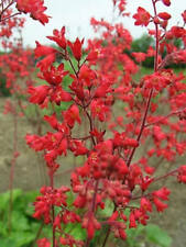 50+ HEUCHERA FIREFLY CORAL BELLS FLOWER SEEDS, SANGUINEA, FRAGRANT, SHADE PLANT