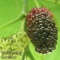 Dwarf Everbearing Black Mulberry Tree Morus nigra Live Plant Fruit