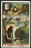 Proboscus Monkey Build A Nest In Borneo Asia c1915 Trade Ad  Card