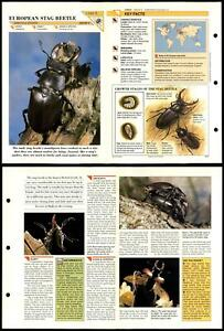 European Stag Beetle #8 Insects Wildlife Fact File Fold-Out Card