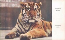Postcard Siberian Tiger London Zoo official Zoo Card unposted