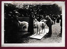 PHOTO PRESSE 150215 - TUILERIES Exposition canine - CHIEN lévrier