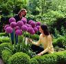 RIESEN LAUCH (Allium giganteum) - 30 Samen / Pack - Zierlauch - Winterhart