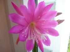 Epiphyllum Blattkakteen steckling gut bewurzelter Ableger