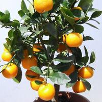 ORANGENBAUM: pflegeleichte Zitruspflanze, gedeiht immer