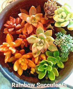 5-50x Succulent Rainbow Arrangement Bundle Rare & Unusual Species FREE SHIPPING