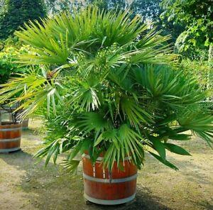 2 winterharte Mazari-Palmen schnellwüchsige exotische Pflanzen im für den Garten