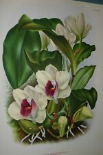 Lindenia Print Limited Edition Bifrenaria Harrisoniae Orchid Collectible Decor