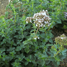 1 Oz Italian Oregano Herb Seeds - Everwilde Farms Mylar Seed Packet
