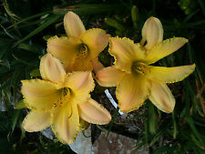 Daylily Techny Peace Pastel yellow Hemerocallis Perennial ~ Df or 2 Plants