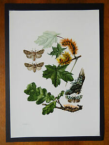 VINTAGE PRINT OF OWLET MOTHS EDUCATIONAL SCHOOL CHART INSECTS SYCAMORE MOT