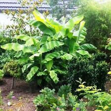 Musa Basjoo japanische Banane robuste winterharte Bananenpflanze MB1