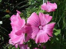 30+ Malva Bright Pink Flower Seeds / Perennial
