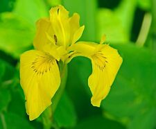Yellow Water Iris Pond plant- Winter Hardy Tuber +A FREE CREEPING JENNY Plants