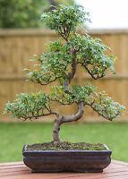 der Pfefferbaum gibt einen wunderbaren Miniaturbaum, auch Bonsai genannt.