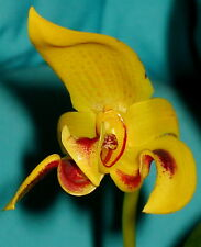 Bulbophyllum ESPECIES´JUPITER SOL ´4n NUEVO Orquídea Orquídeas