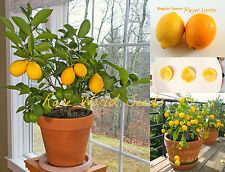 DWARF Lemon 'Meyer' (Citrus limon) indoor outdoor GROWS TO 1-3' in pot! Seeds.