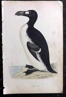 Morris 1867 Antique Bird Print. Extinct Great Auk