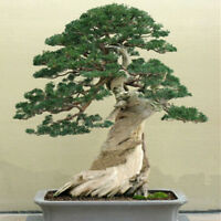 BEAUTIFUL JAPANESE JUNIPER BONSAI TREE SEEDS - JUNIPERUS CHINENSIS FRESH SEEDS