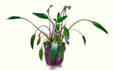 CRYPTOCORYNE LUTEA 1 POT -Freshwater Aquatic Live Plants SUPER PRICE !!!!!!