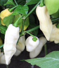 White Bhut Jolokia Ghost Chilli Long - A Super Hot Long Ghost Chilli Variety!!!