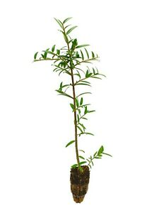PHILLYREA Angustifolia 1 Plant IN Alveolus Fake Olive Green Tree Slim