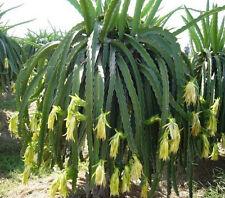 Drachenfrucht Pitaya Hylocereus megalanthus Pflanze 10cm Kaktus essbare Früchte