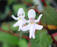 100pcs Dancing Girls (Impatiens Bequaertii) Flower Seeds Plant Seed Bonsai