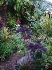 Rare seeds » Albizia julibrissin 'Evi's Purple' - magnificent -  3 fresh seeds