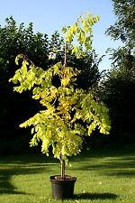Robinia pseudoacacia 'Frisia' Goldakazie Goldrobinie Akazie 100-125 cm im Cont.