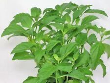 Ocimum selloi | Green pepper basil Starter Plant Free Shipping