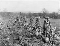 "*Postcard-Halloween-""Harvest Season for Pumpkins being Grown in Field""   (V-23)"