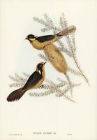 JOHN GOULD HELMETED HONEY EATER VINTAGE BIRD ART PRINT POSTER