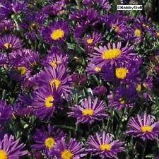 Aster alpinus 'Blue' Perennial Violet-Blue, Daisy-like Flower   75 seeds