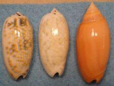 Oliva Tricolor 2 Shells 49+50mm and Oliva Annulata 57mm Data in Description
