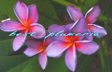 Plumeria Seeds/Flowers/moungsukdee/Fresh 20 seeds!!