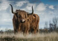 A1 Yak Highland Coo Cow Cattle Poster Artwork Print 60 x 90cm 180gsm Gift #13165