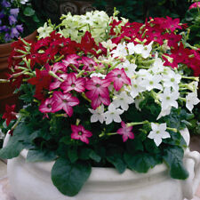 """0.1g (~ 450) flowering tobacco seeds """"DAYLIGHT SENSATION"""" stunning mixed color"""