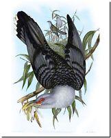 "Vintage John Gould Australian Bird Art CANVAS PRINT~ Cuckoo Channel-bill 24""X18"""