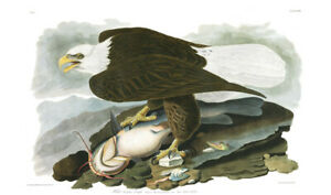 1830 John Audubon Bald White Headed Eagle with Yellow Catfish Havell Edition Exc