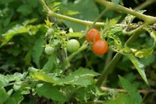 150 Everglade Tomato Seeds - Super Cheap! - Currant tomatoes that Grow Grow Grow